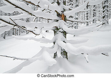 Spruce branches - Winter landscape in a mountain forest with...