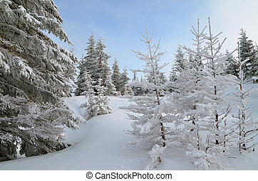 Winter Forest - Winter landscape with fir trees in a...