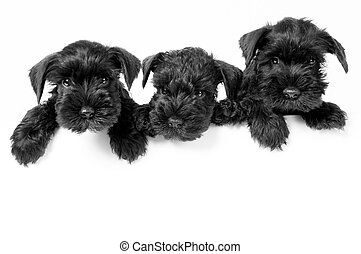 Miniature Schnauzer puppies - Three adorable schnauzer...
