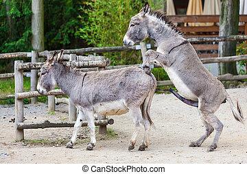 Two donkeys  - Two donkeys