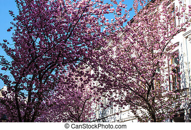 Rows of cherry blossom trees on Heerstrasse in Bonn, Germany