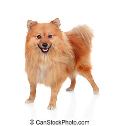 Beautiful Pomeranian dog isolated on a white background