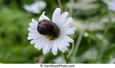 snail daisy flower center - Closeup of wet snail on daisy...