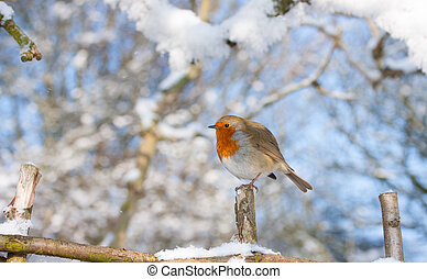Robin Redbreast - a little robin redbreast perched on a snow...