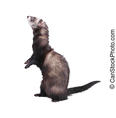 Ferret standing on hind legs, isolated on white