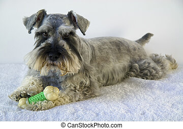Bingo - Little salt and pepper Schnauzer playing with his...