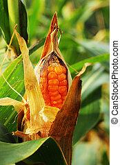 maíz, Mazorca, campo