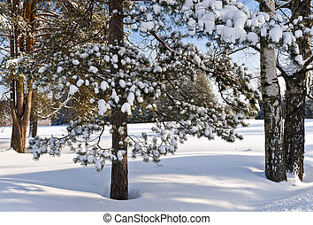 Snow on pine-tree branches in winter forest