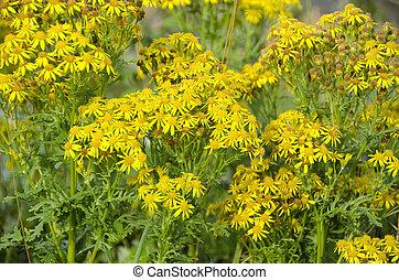 Jacobaea vulgaris, ragwort or benweed - Yellow flowers of...