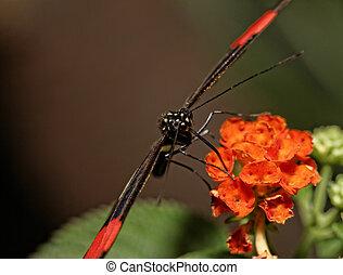 Heliconius erato - Small Butterfly Heliconius erato...
