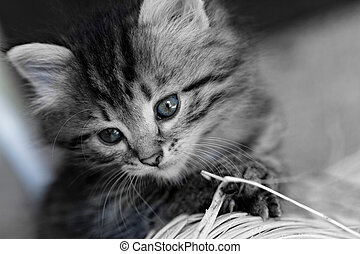 Tabby kitten - Close-up portrait of tabby house cat - black...