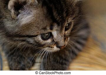 atigrado, gatito