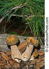 Edible mushrooms (Cape) 5