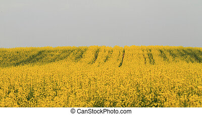 Colza field - Colourful field of rapeseed