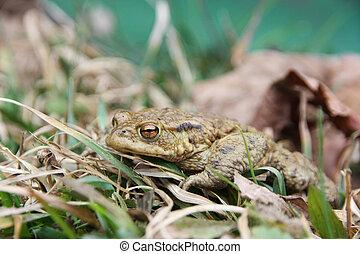 A skinny frog after winter hibernation