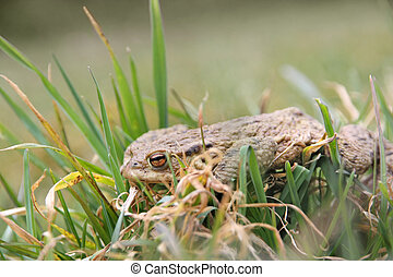 frog after winter hibernation - A skinny frog after winter...