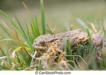 hibernación, después, invierno, rana