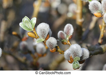 Blooming spring pussy-willow