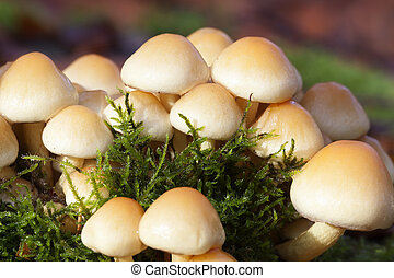 changeable pholiota - macro shot - changeable pholiota -...