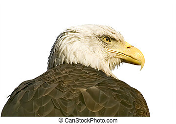Bald Eagle - Large predatory bird, it is isolated on a white...