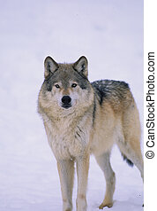 Grey Wolf - a gray wolf standing with pure white background
