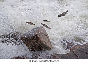 Group of salmon jumping upstream in the river.