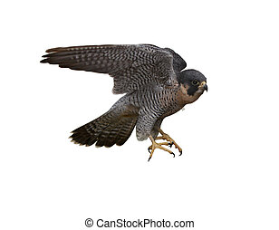 Peregrine Falcon (Falco peregrinus) isolated on white...