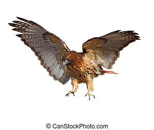 Red Tailed Hawk - Red-tailed Hawk (Buteo jamaicensis) bird...