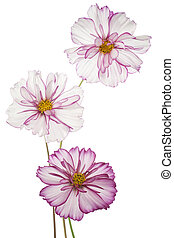 cosmos - Studio Shot of Fuchsia and White Colored Cosmos...