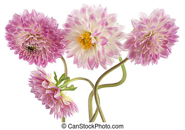 dahlia - Studio Shot of Magenta Colored Dahlia Flowers...