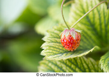 Wild strawberry berry growing in natural environment. Macro close-up.
