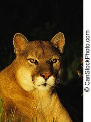 Montaña, león, retrato