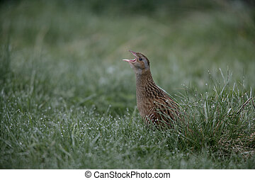 Corncrake, Crex crex, single bird in reeds, North Uist,...