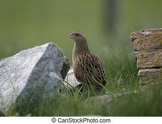 Corncrake, Crex crex, single bird in reeds, North Uist,...
