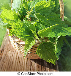 Freshly stinging nettles in basket