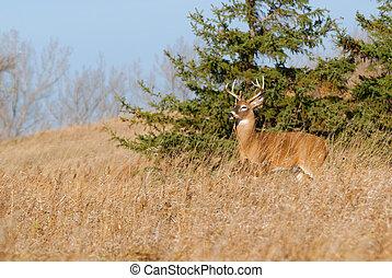 Whitetail Deer Buck standing in a field.