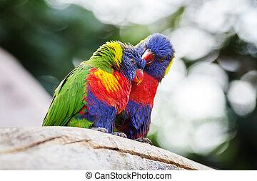 lori Lorikeet  - couple of lori on a tree