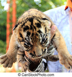 Cute Small Tiger - Small Tiger on hand of the Zoo Keeper