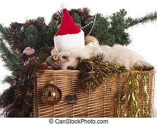 mand, Maltees, Verfraaide,  dog, Kerstmis