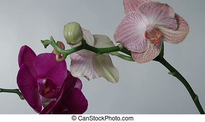 Pink and purple orchids rotating close up
