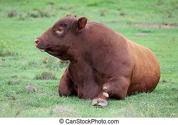 Brangus Cattle Bull - Large Brangus cattle resting on the...