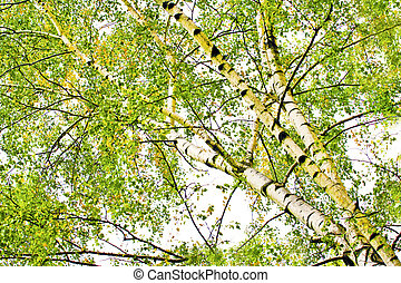 Deciduous birch trees in the summer period.