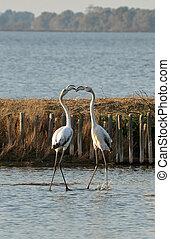 flamingos fighting