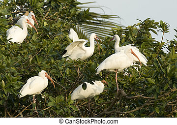 Crowded tree - Tree full of little white birds very common...