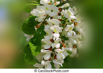 blanco, Acacia, flor