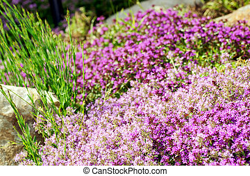 Thyme purple flowers - Gardening or landscaping background:...