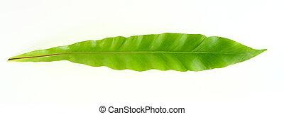 Bird's, nest, fern, leaf, white, background