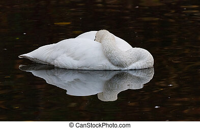 Tundra Swan - White Tundra Swan, migratory bird close up