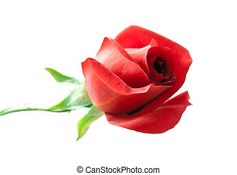 red rose is isolated on white
