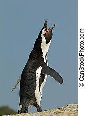African penguin (Spheniscus demersus) calling, against a...